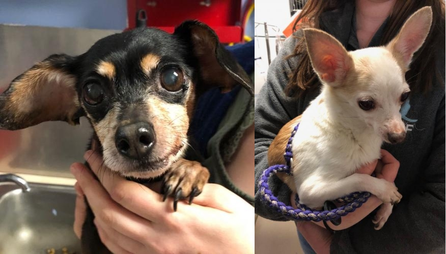 Two Chihuahua's