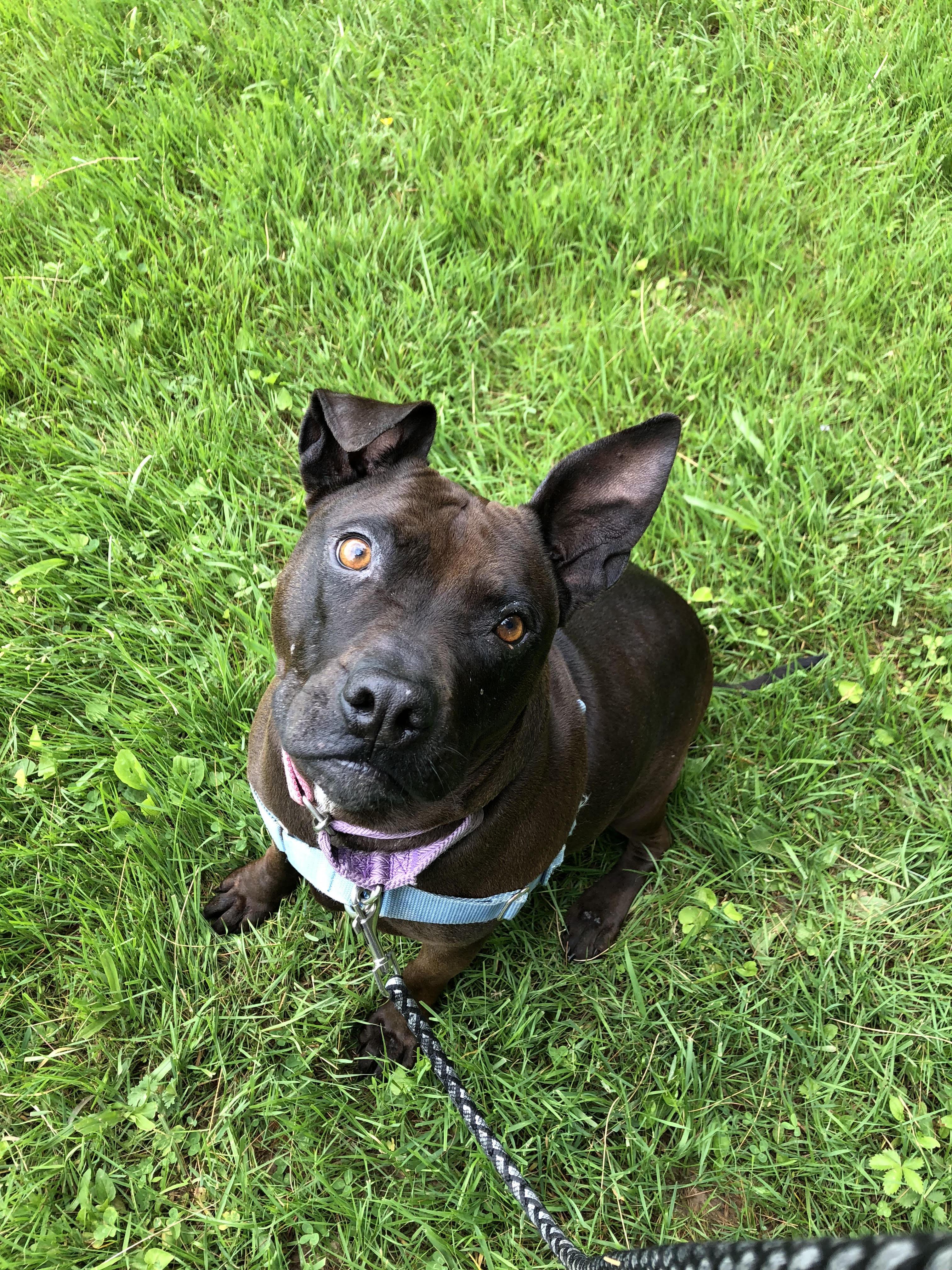 Sophie Pit Bull dog